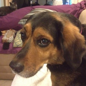 Daisy, Beagle